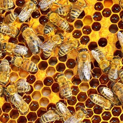 HIVE, WORKER, CELLS, DRONE, COLONY, QUEEN, INSECTS, BEES, WAX, APIARY, HONEYCOMB