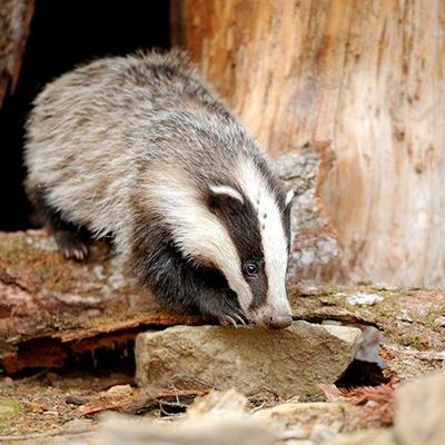 BURROW, SETT, ROCK, BLACK, WHITE, BADGER, CLAWS, STRIPES, TRUNK, NOCTURNAL