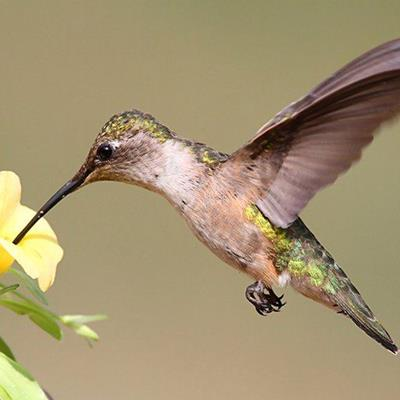 HUMMINGBIRD, FLOWER, FEATHERS, NECTAR, BEAK, HOVERING, SMALL, PLUMAGE, WINGS