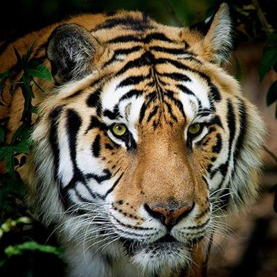 TIGER, STRIPES, BIGCAT, ENDANGERED, SIBERIAN, WILD, WHISKERS, PREDATOR