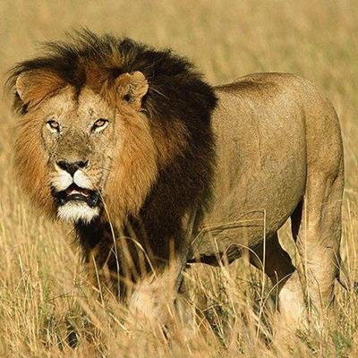 LION, KING, AFRICAN, MANE, FELINE, NOBLE, MALE, HUNTER, FIERCE, GRASSLAND, BEAST