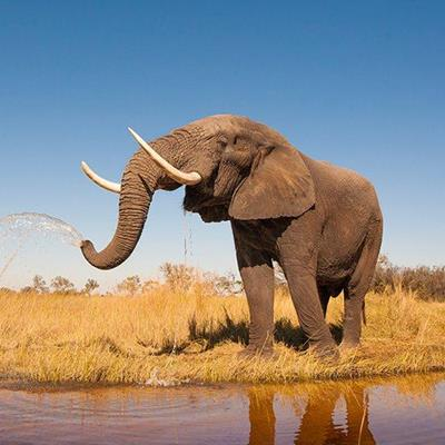ELEPHANT, TUSKS, IVORY, JUMBO, TRUNK, REFLECTION, BIGEARS, AFRICAN, PACHYDERM, WATER