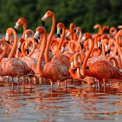 FLAMINGOS, BIRDS, NECKS, LAKE, LEGS, PINK, FLOCK, WADERS, WINGS, SHALLOW, BEAKS
