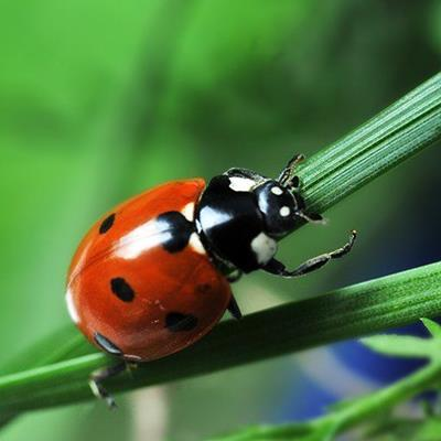 LADYBIRD, ANTENNAE, STALKS, SPOTS, BUG, INSECT, BEETLE, RED, GRASS, BLACK, NATURE