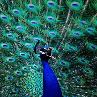 GREEN, BILL, PLUMAGE, BLUE, PEACOCK, FEATHERS, BIRD, DISPLAY, TAIL, QUILLS