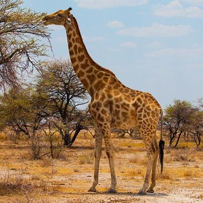 GIRAFFE, TAIL, HERBIVORE, WILDLIFE, SAVANNA, SAFARI, AFRICA, GRAZING, PATTERN, NECK, GAME