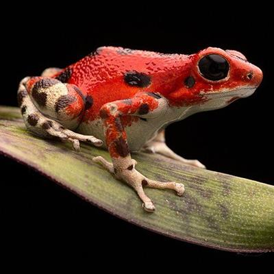 FROG, AMPHIBIAN, LEGS, RED, LEAF, TROPICAL, RAINFOREST, JUNGLE, CROAK, SPOTS, EYE