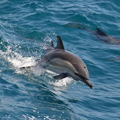 JUMPING, SNOUT, FLIPPER, AQUATIC, WAVES, DOLPHIN, DORSALFIN, SWIMMING, OCEAN