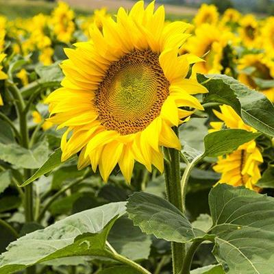 STEMS, OIL, YELLOW, FIELD, GREEN, SUNFLOWERS, PETALS, LEAVES, SEEDS, CROP, AGRICULTURE