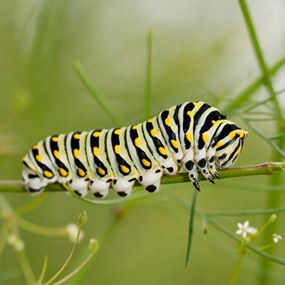 LARVA, ARTHROPOD, PATTERN, PEST, STEM, CATERPILLAR, INSECT, SPOTS, BUTTERFLY, STALK