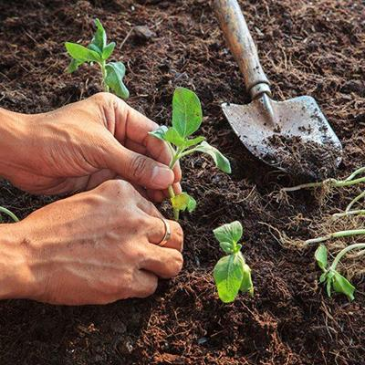 PLANTS, CULTIVATION, GARDENER, LEAVES, HANDS, SOIL, ROOTS, DIRT, TROWEL, RING