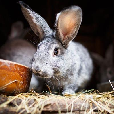 RABBIT, BUNNY, STRAW, CUDDLY, BOWL, HUTCH, EARS, GREY, PET, FURRY