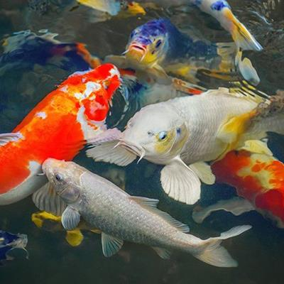 KOICARP, JAPANESE, FISH, BRIGHT, HOBBY, ORNAMENTAL, AQUATIC, BEAUTIFUL, FINS, PETS