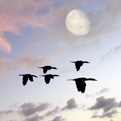 MIGRATION, SILHOUETTE, FLIGHT, WINGS, BIRDS, FLAPPING, TAILS, FORMATION, JOURNEY, MOON
