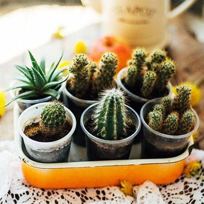 SUCCULENT, HOUSEPLANTS, FLOWERPOTS, LACE, SOIL, CACTI, SPINES, TRAY, DESERT, INDOOR, SIX