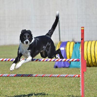 SHEEPDOG, TAIL, CANINE, COURSE, TRIALS, HURDLE, FENCE, HEIGHT, OBSTACLES, AGILITY