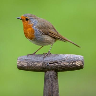 PERCHED, HANDLE, TOOL, FEATHERS, BEAK, ROBIN, REDBREAST, WILDLIFE, TAIL