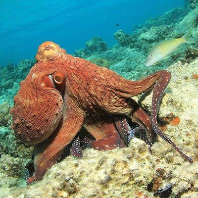 OCTOPUS, AQUATIC, REEF, ARMS, SUCKERS, BLUE, MARINE, EYE, CREATURE, UNDERWATER, CORAL