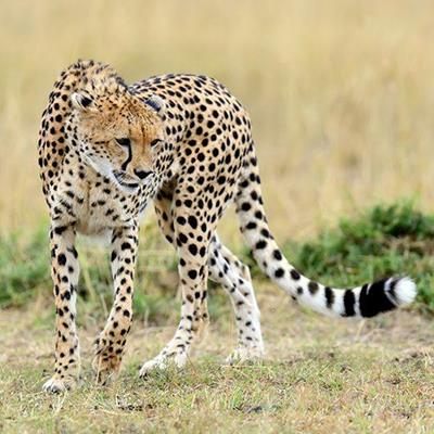 AFRICA, BIGCAT, SAFARI, HUNTER, WILD, CHEETAH, SPOTS, FELINE, PREDATOR, PREY, ANIMAL
