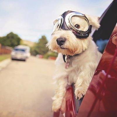 DOG, REFLECTION, WINDOW, STREET, WESTIE, COLLAR, TERRIER, GOGGLES, CAR, WIND, FURRY, ROAD, TAG