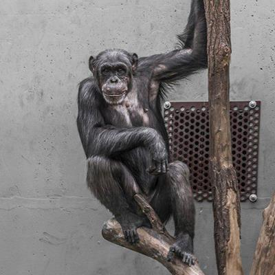 BRANCH, GRILL, CONCRETE, CAPTIVITY, ZOO, PRIMATE, MONKEY, CHIMPANZEE, APE, SIMIAN, TREE, ANIMAL
