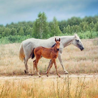 HORSES, EQUINE, HOOF, MANE, TAIL, BROWN, MARE, FOAL, WHITE, FOREST, ANIMALS
